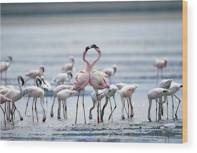Tanzania Wood Print featuring the photograph Lesser Flamingoes Phoeniconaias Minor by Paul Souders