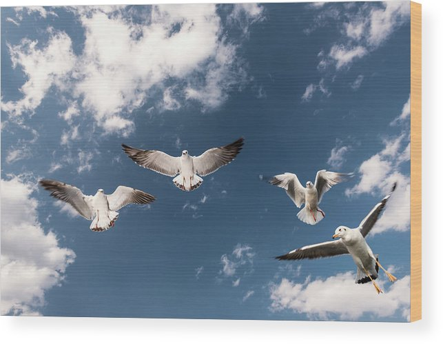 Animal Themes Wood Print featuring the photograph Myanmar, Inle Lake, Seagulls Inflight by Martin Puddy