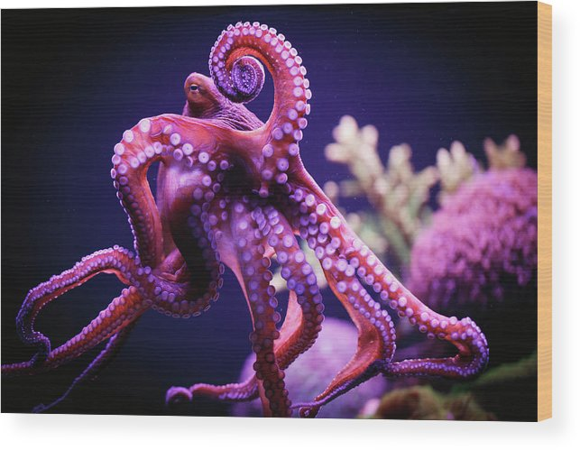 Underwater Wood Print featuring the photograph Octopus by Reynold Mainse / Design Pics