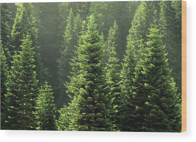 Scenics Wood Print featuring the photograph Pine Tree by Petekarici