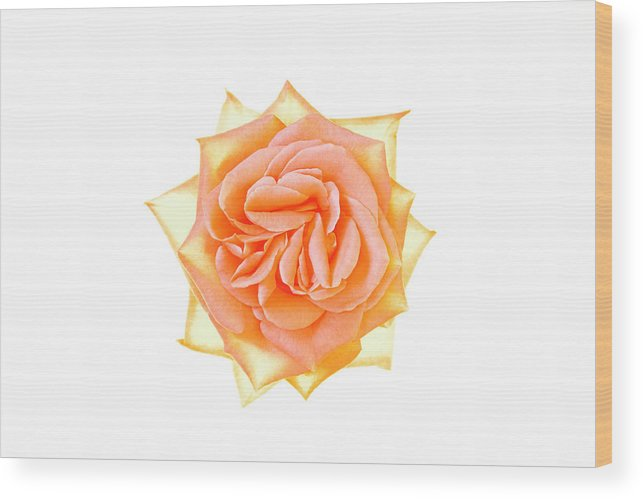 Orange Color Wood Print featuring the photograph Rose Flower by Nicholas Rigg