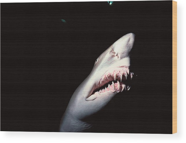 Underwater Wood Print featuring the photograph Sand Tiger Shark by Jeff Rotman