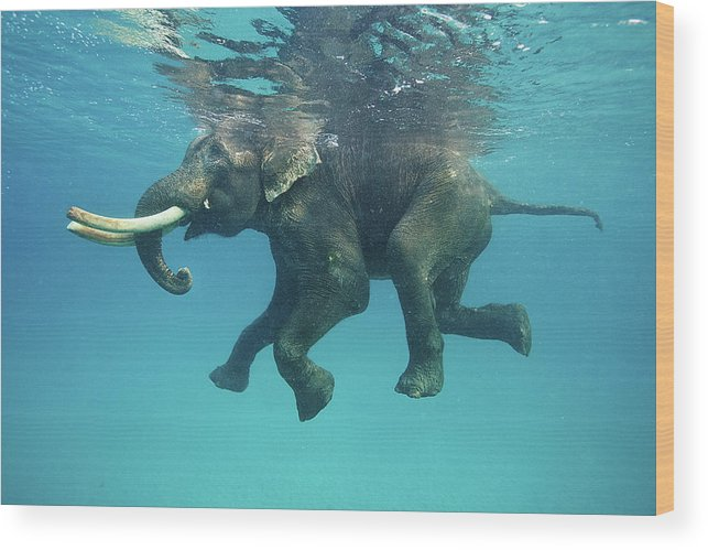 Underwater Wood Print featuring the photograph Swimming Elephant by Mike Korostelev Www.mkorostelev.com