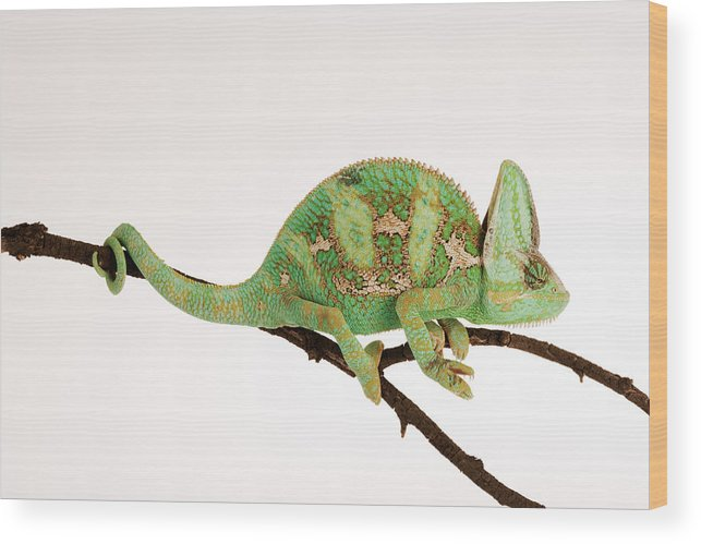 White Background Wood Print featuring the photograph Yemen Chameleon Sitting On Branch by Martin Harvey