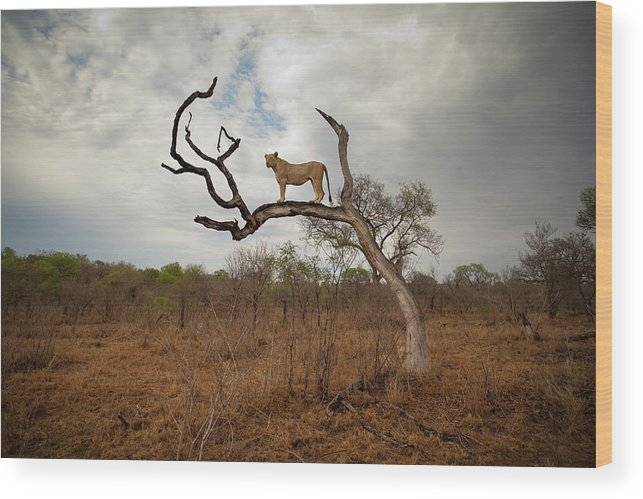 Scenics Wood Print featuring the photograph A Female Lion Standing On Bare Branch by Sean Russell