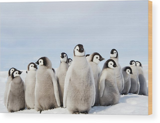 Emperor Penguin Wood Print featuring the photograph A Nursery Group Of Emperor Penguin by Mint Images - David Schultz