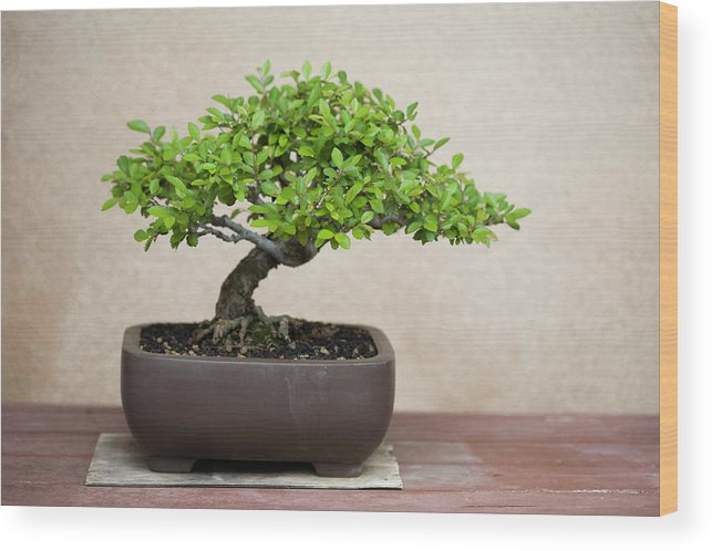 A Potted Bonsai Tree On A Wooden Table Wood Print By Meltonmedia