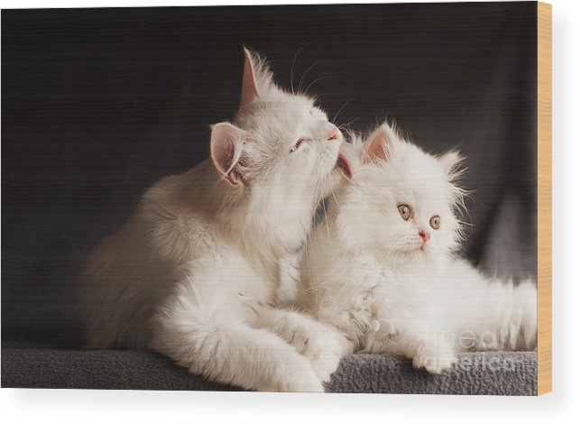 Cleaning Wood Print featuring the photograph Adorable White Persian Cats Mother by Dreambig