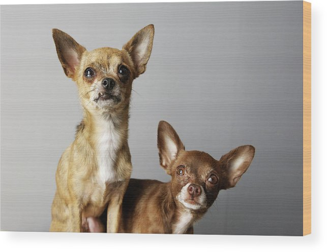 Animal Themes Wood Print featuring the photograph All Dog, No Cat by Laura Layera