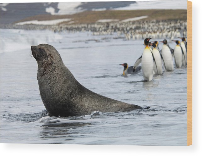 Water's Edge Wood Print featuring the photograph An Antarctic Fur Seal, Arctocephalus by Mint Images - David Schultz