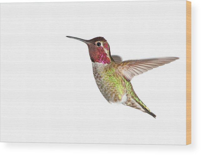 Hanging Wood Print featuring the photograph Annas Hummingbird - Male, White by Birdimages