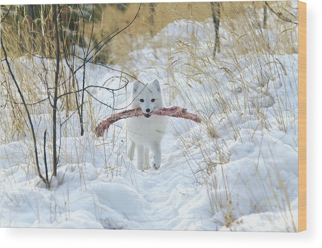 Grass Wood Print featuring the photograph Arctic Fox Alopex Lagopus In White by Mark Newman / Design Pics