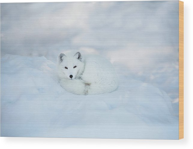 Svalbard Islands Wood Print featuring the photograph Arctic Fox Resting In The Snow by Seppfriedhuber