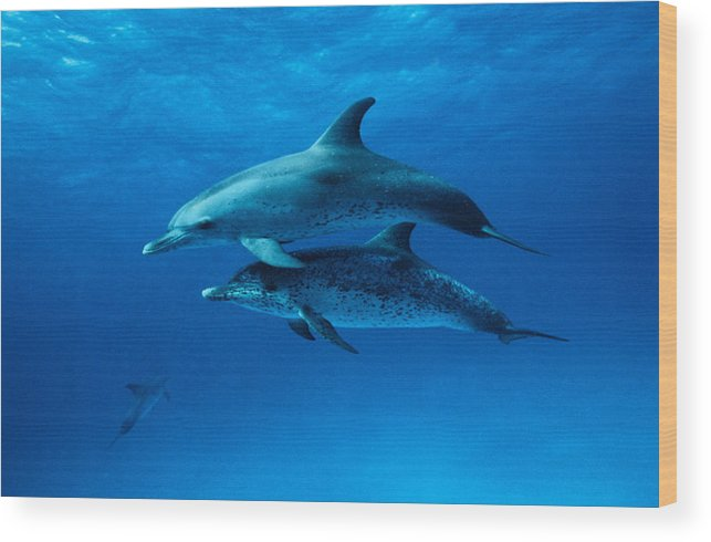 Color Image Wood Print featuring the photograph Atlantic Spotted Dolphins,stenella by Gerard Soury
