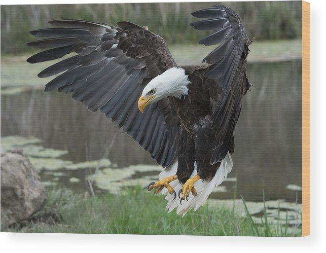Bald Wood Print featuring the photograph Bald Eagle by Darlene Hewson