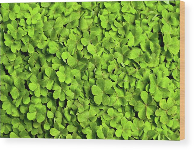 Leaf Wood Print featuring the photograph Bed Of Clover by Kledge
