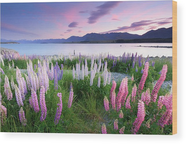 Dawn Wood Print featuring the photograph Berry Dawn At Lake Tekapo, New Zealand by Atomiczen