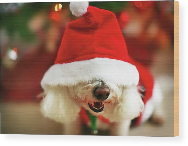 Pets Wood Print featuring the photograph Bichon Frise Dog In Santa Hat At by Nicole Kucera
