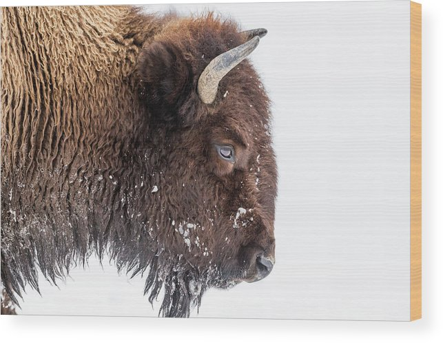 Vertebrate Wood Print featuring the photograph Bison In Winter by Kencanning
