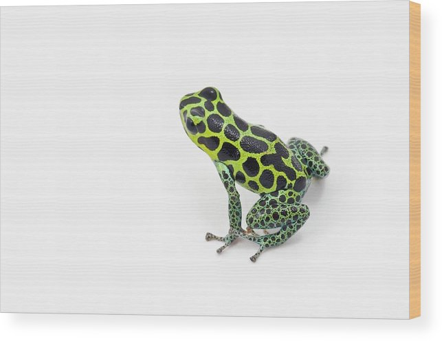 White Background Wood Print featuring the photograph Black Spotted Green Poison Dart Frog by Design Pics / Corey Hochachka