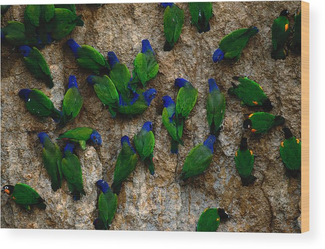 Blue Headed Parrot Wood Print featuring the photograph Blue-headed And Barrabands Parrots by Art Wolfe
