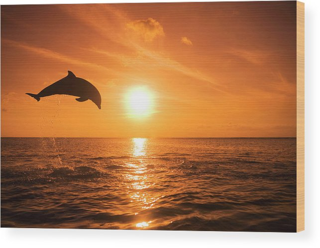 Orange Color Wood Print featuring the photograph Bottlenose Dolphin Tursiops Truncatus by Rene Frederick