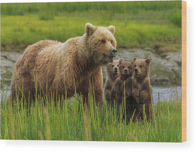 Brown Bear Wood Print featuring the photograph Brown Bear Sow And Cubs, In The Long by Mint Images - Art Wolfe