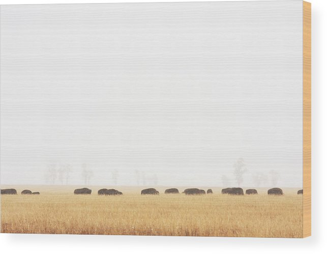 Scenics Wood Print featuring the photograph Buffalo Bison Herd Migration Fog by Chuckschugphotography