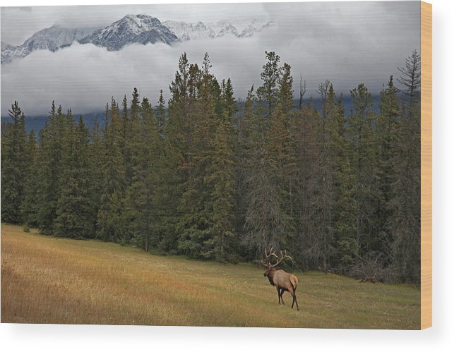 Snow Wood Print featuring the photograph Bull Elk In Meadow With Snow Covered by Guy Crittenden