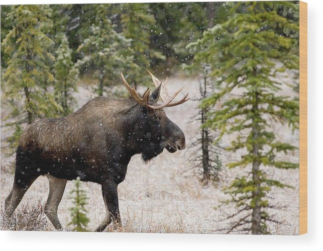 Horned Wood Print featuring the photograph Bull Moose In Snow Fall by Tulissidesign