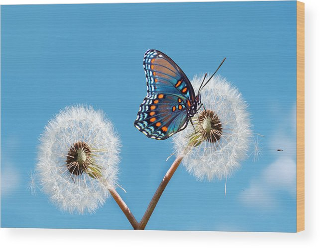 Animal Themes Wood Print featuring the photograph Butterfly On Dandelion by Maria Wachala