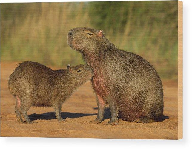 Sebastian Kennerknecht Wood Print featuring the photograph Capybara Juvenline Sniffing Mother by Sebastian Kennerknecht