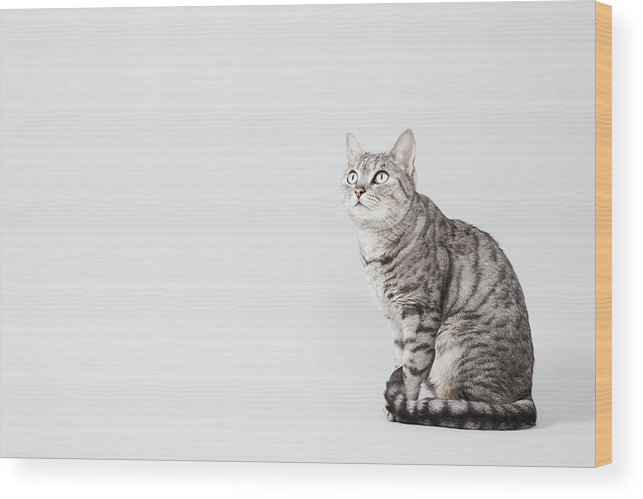 Pets Wood Print featuring the photograph Cat Looking Up by Lisa Stirling