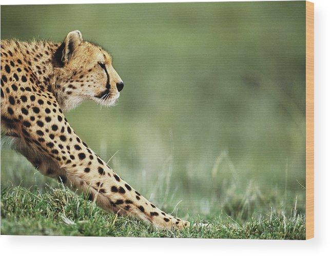 Grass Wood Print featuring the photograph Cheetah Acinonyx Jubatus Stretching by Anup Shah