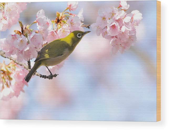 Animal Themes Wood Print featuring the photograph Cherry Blossoms by Myu-myu