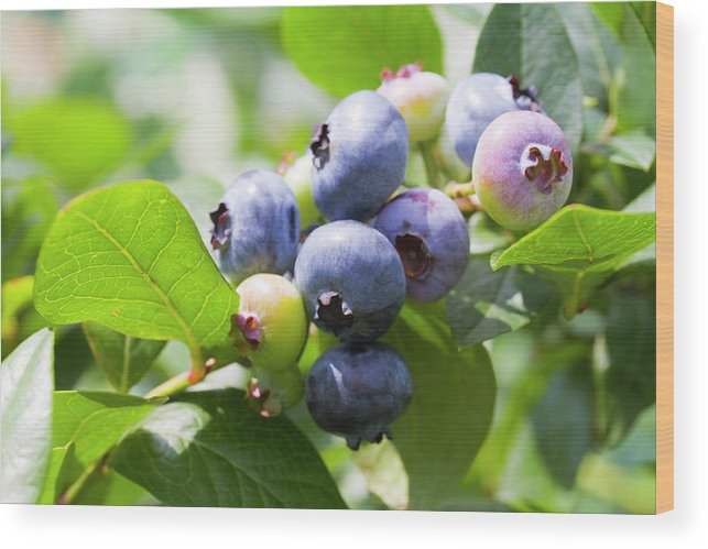 Yamanashi Prefecture Wood Print featuring the photograph Close-up Of Blueberry Plant And Berries by Daisuke Morita