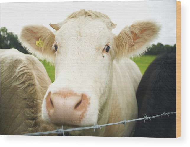 Free Range Wood Print featuring the photograph Close Up Of Cows Face by Peter Muller