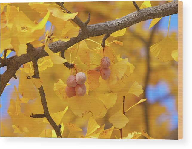 Ginkgo Tree Wood Print featuring the photograph Close-up Of Gingko Tree In Autumn by Wada Tetsuo/a.collectionrf