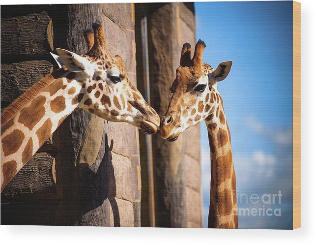 Shadow Wood Print featuring the photograph Close Up Of Two Giraffes Kissing by Warren Chan