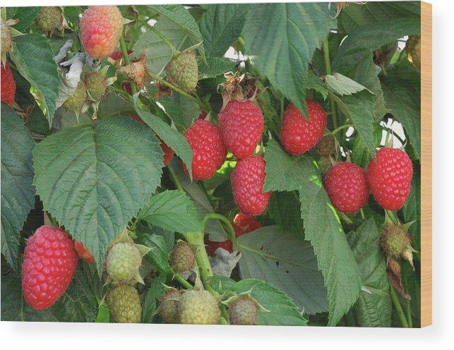 Non-urban Scene Wood Print featuring the photograph Close-up Ripening Organic Raspberries by Gomezdavid