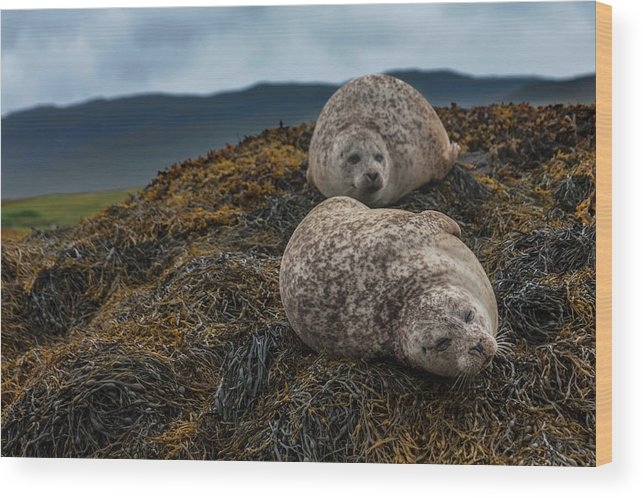 Seaweed Wood Print featuring the photograph Common Seals, Loch Dunvegan, Isle Of by Diane Macdonald