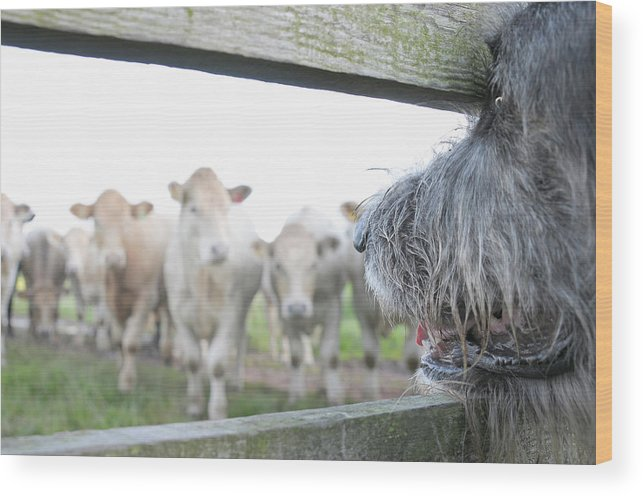 Alertness Wood Print featuring the photograph Dog Watching Cows Through Fence by Cecilia Cartner