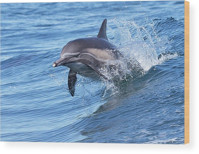 Wake Wood Print featuring the photograph Dolphin Riding Wake by Greg Boreham (treklightly)
