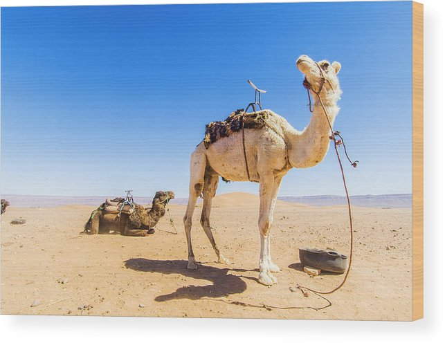 Working Animal Wood Print featuring the photograph Draa Valley, Camel At Tinfou by Maremagnum