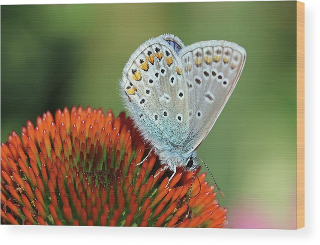 Common Blue Butterfly Wood Print featuring the photograph Echinacea And Common Blue Butterfly by Getty Images Verkauf