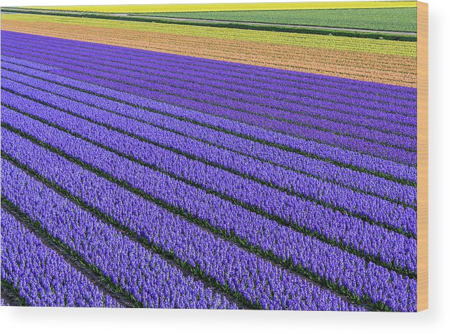 Tranquility Wood Print featuring the photograph Flower Fields In Spring In Holland by Frans Sellies