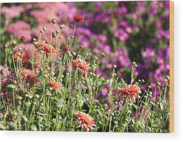 Flowerbed Wood Print featuring the photograph Flowerbed With Michaelmas Daisies by Schnuddel