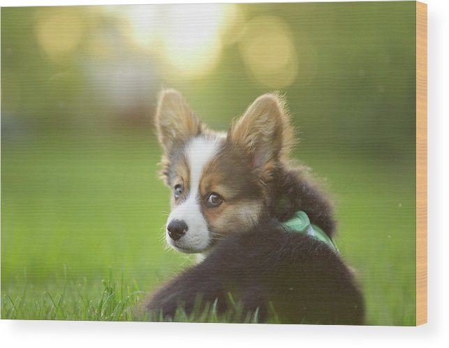 Pets Wood Print featuring the photograph Fluffy Corgi Puppy Looks Back by Holly Hildreth
