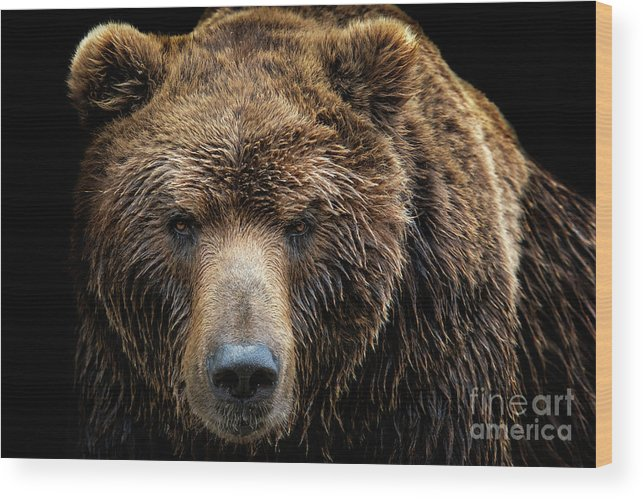 Grizzly Bear Wood Print featuring the photograph Front View Of Brown Bear Isolated by Xtrekx