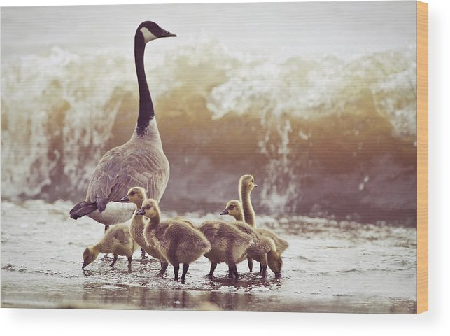 Lake Ontario Wood Print featuring the photograph Gaggle by Photogodfrey